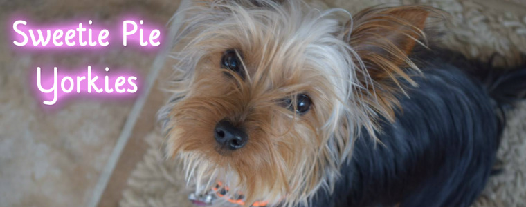 Sweetie Pie Teacup Yorkshire Terriers Sweetie Pie Yorkies Home